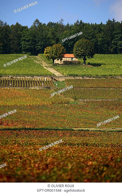 CORTON CHARLEMAGNE VINEYARDS IN THE BEGINNING OF AUTUMN, THOSE LITTLE STONE HUTS ARE CALLED CABOTTES IN BURGUNDY, ALOXE-CORTON, COTE-D'OR (21), BOURGOGNE