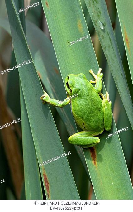European tree frog (Hyla arborea) sitting on leaf, Burgenland, Austria