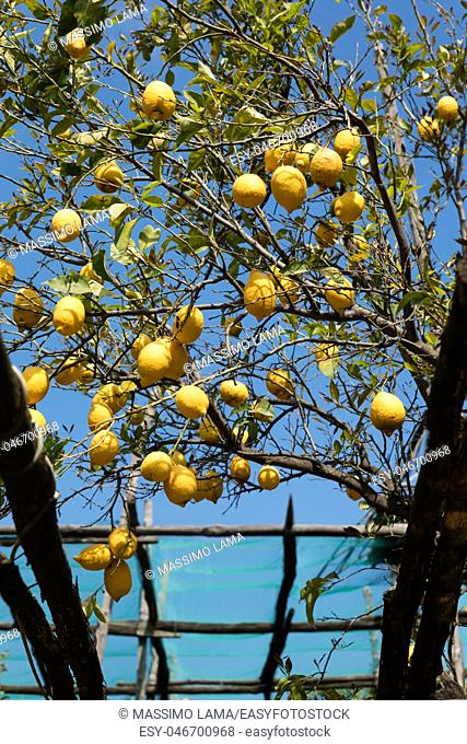 Lemon tree branches with ripe yellow fruits close-up