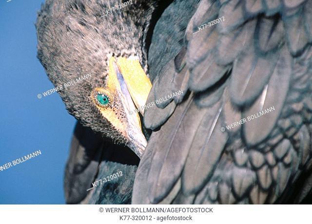 Double-crested Cormorant (Phalacrocorax auritus). Everglades NP. Florida. USA