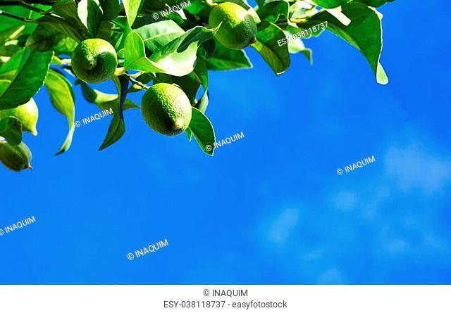 Green lemons on branch