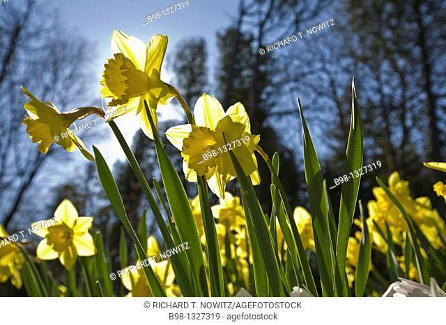 Mackinac Island, Michigan  Backlit Daffodils