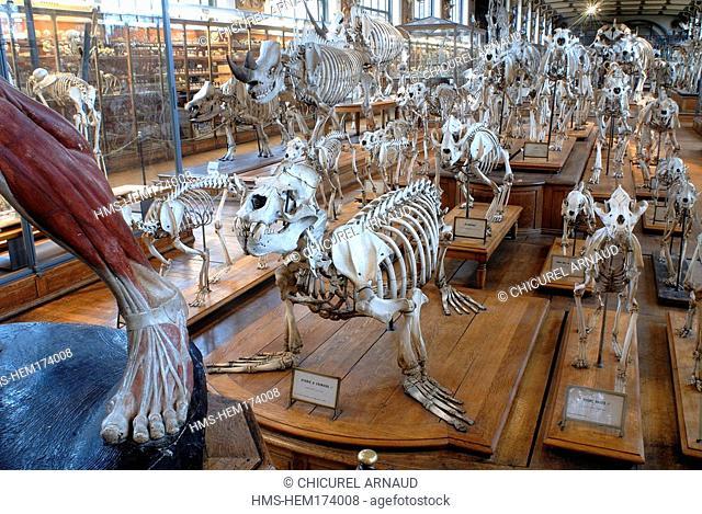 France, Paris, Museum national d'histoire naturelle, paleontological gallery