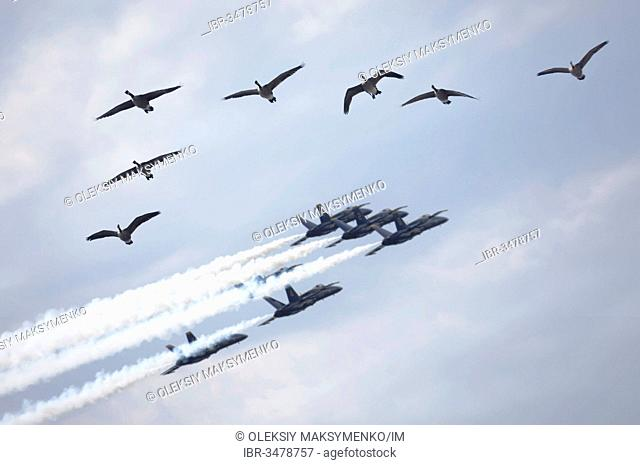 Flock of Canada geese flying by during Canadian International Air Show 2009, US Navy Blue Angels performance