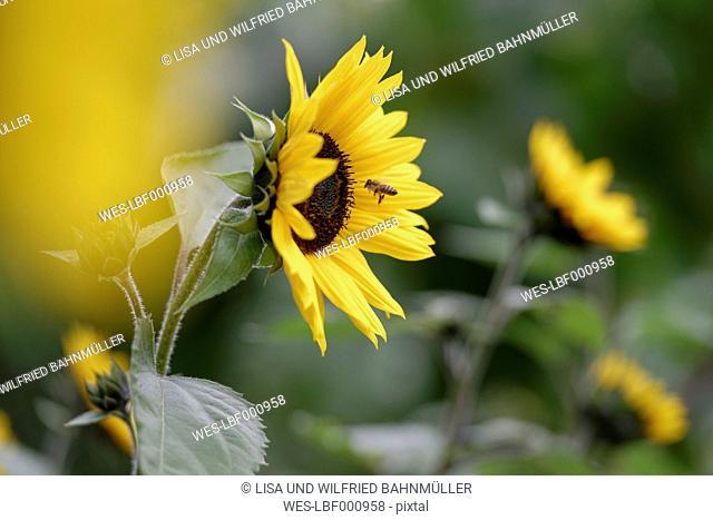 Blossom of sunflower, Helianthus annuus, and honey bee on foraging flight