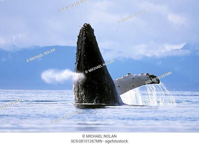 Adult Humpback Whale Megaptera novaeangliae breaching in Icy Strait, Southeast Alaska, USA Pacific Ocean