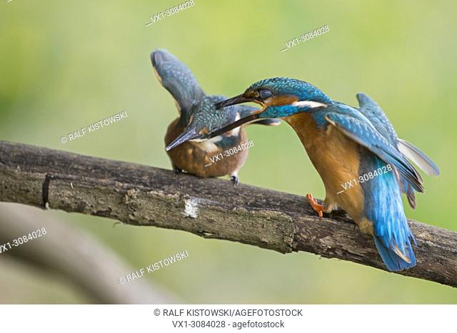 Common Kingfishers ( Alcedo atthis ) male adult, biting its offspring, fighting, chasing offspring out of its territory, agressive, wildlife, Europe