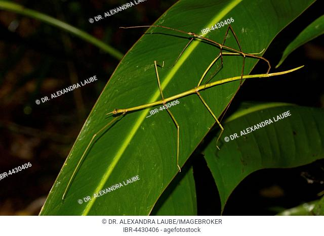 Stick insects (Phasmatidae), couples on oblong leaf, rainforest, east coast, Madagascar