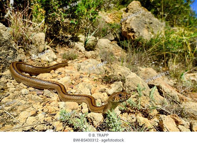 ladder snake (Elaphe scalaris, Rhinechis scalaris), creeps in its habitat, Spain, Balearen, Menorca