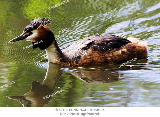 Great crested grebe (Podiceps cristatus) swimming at a pond - Naturpark Altmuehltal, Bavaria/Germany
