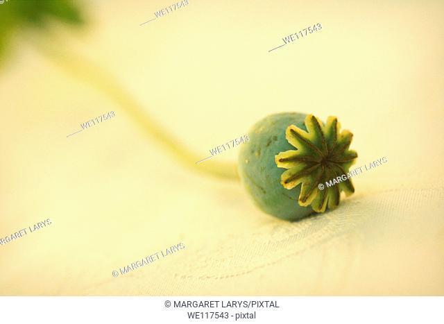 Poppy, Papaveraceae seed capsule close up