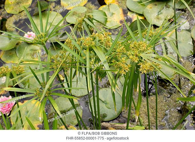 Common Galingale (Cyperus longus) flowering, growing in garden pond, Dorset, England, July