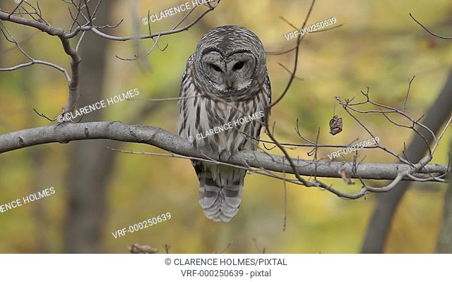 A Barred Owl (Strix varia) raises its head and looks straight at the camera while perching on a tree limb on an Autumn afternoon