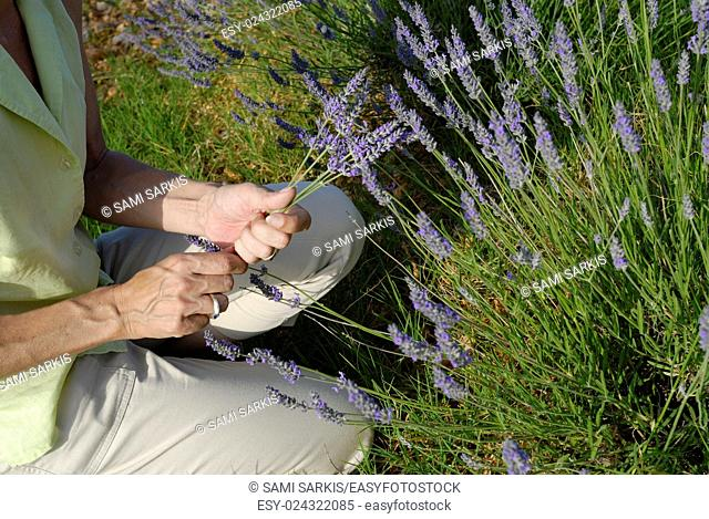 Woman picking lavender flowers in field, Plateau de Valensole, Provence, France, Europe