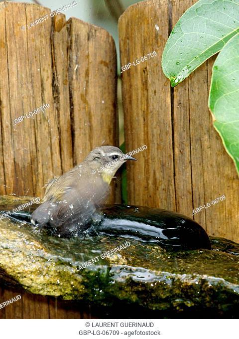 Bird, Cambacica, Bananaquit, Ilha do Mel, Encantadas, Paraná, Brazil