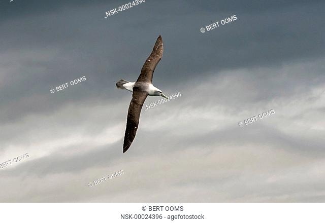 Shy Albatross (Thalassarche cauta) or White-capped Albatross (Thalassarche steadi) in flight against dark clouds in the sky, New Zealand, Southland