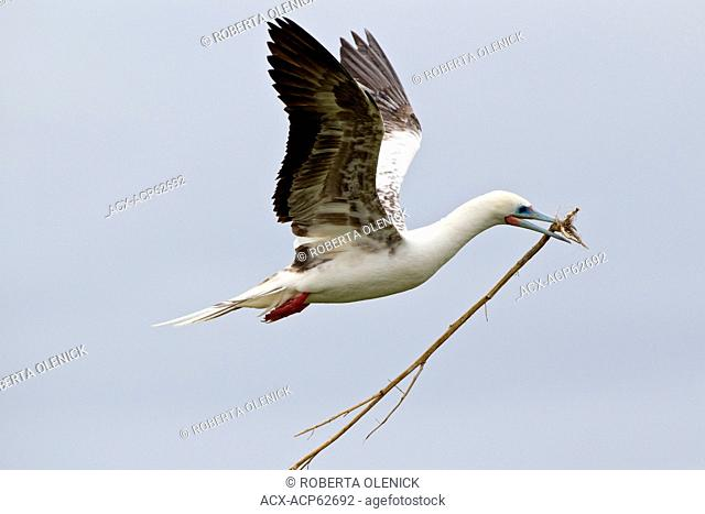Red-footed booby (Sula sula rubripes), with nesting material, in flight, Eastern Island, Midway Atoll National Wildlife Refuge, Northwest Hawaiian Islands