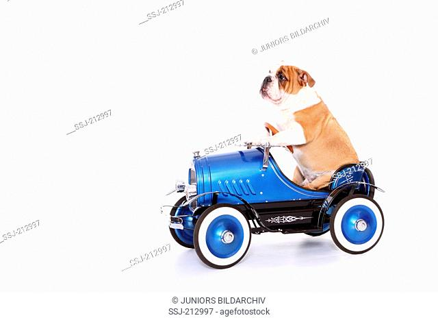 English Bulldog. Male sitting in an antique car. Studio picture against a white background. Germany