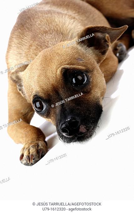 Ratonero Valenciano, Spanish dog breed