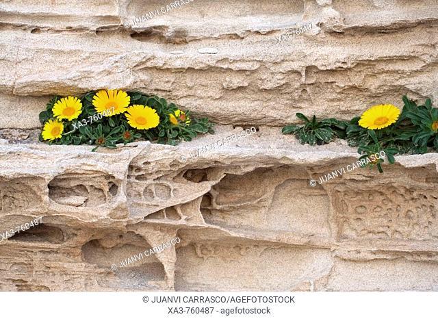 Asteriscus maritimus, Los Escullos , Cabo de Gata-Nijar Biosphere Reserve, Almeria province, Andalucia, Spain