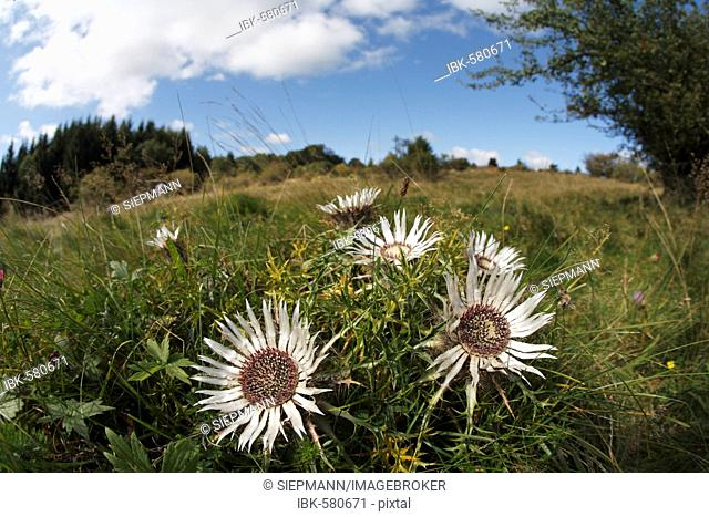 Stemless carline thistle, Dwarf carline thistle, Silver thistle, Carlina acaulis, Bavaria, Germany