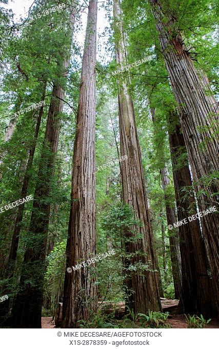 Majestic, old growth California Redwood trees