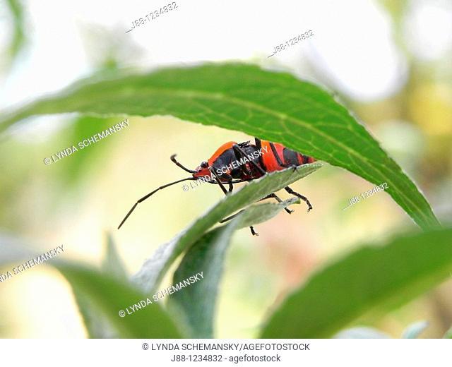 Adult Large milkweed bug, Oncopeltus fasciatus, on Butterfly bush leaf, Buddleia sp