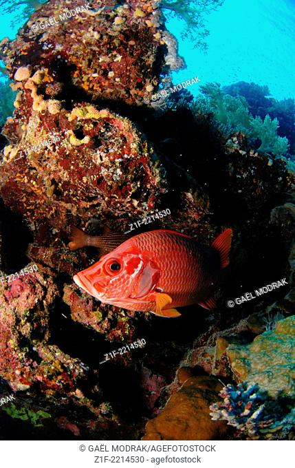 Giant squirrelfish on small Brother island's reef in red sea, Egypt. Sargocentron spiniferum