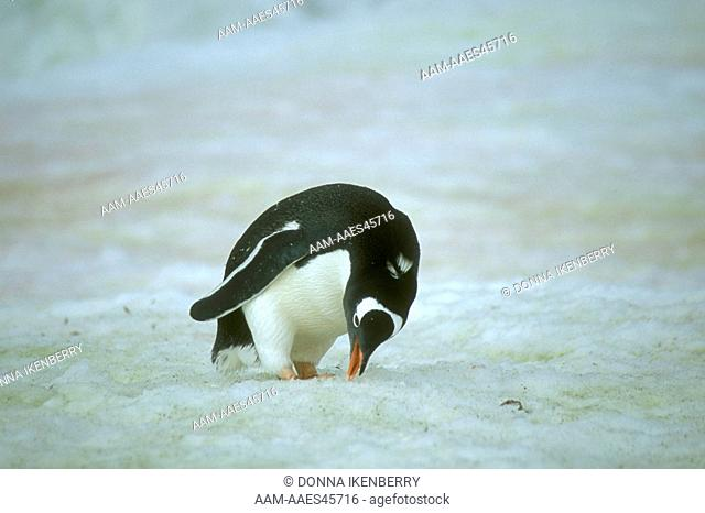 Gentoo Penguin eating Snow (Pygoscelis papua), Petermann I., Antarctica
