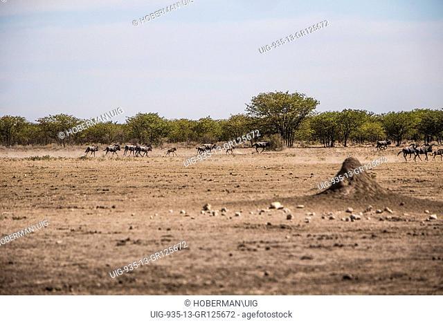 Running Wildebeeste At Etosha National Park