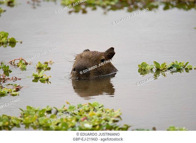Capybara (Hydrochaeris hydrochaeris) in Pond Covered by Fencing, Rodentia, Miranda, Mato Grosso do Sul, Brazil