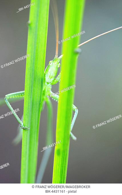 Saga pedo bush cricket (Sago pedo), female looking through grass blades, Pleven Province, Bulgaria