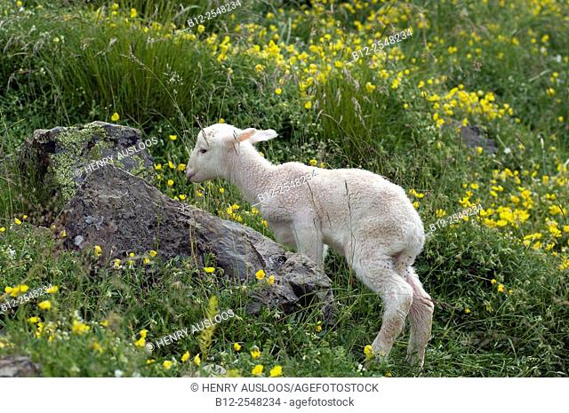 Sheep (Ovis aries), Lamb Basco-Bearnais just born, Pyrenees, France