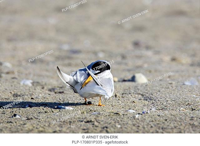 Little tern (Sternula albifrons / Sterna albifrons) preening its feathers with beak on the beach in summer