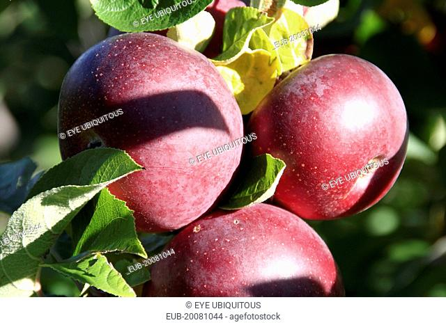 Red Courtland Apples on tree