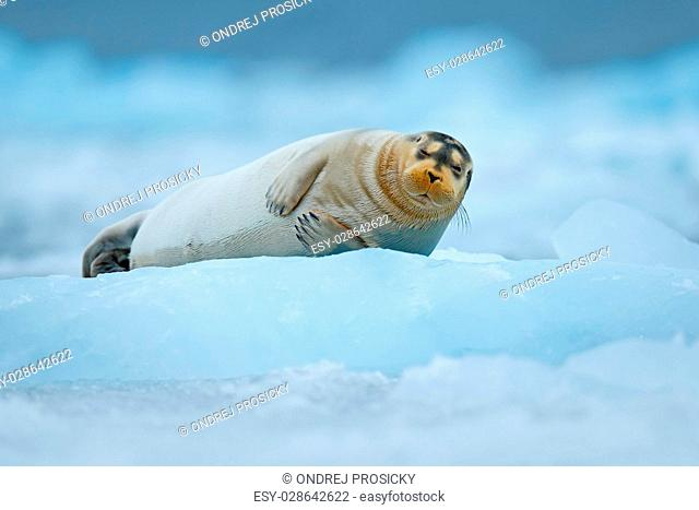Bearded seal on blue and white ice in Arctic Finland