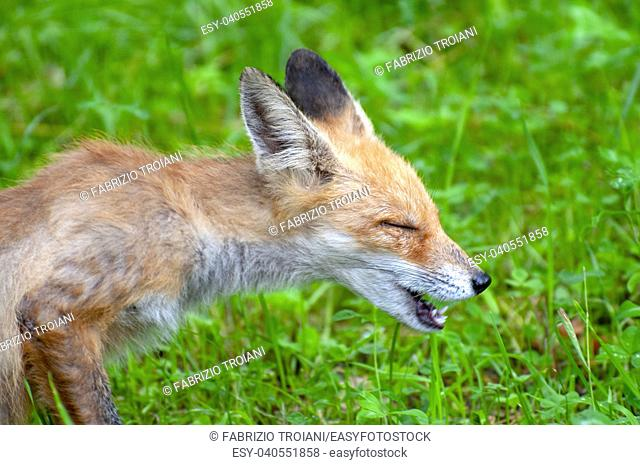 Close up shot of a young sneezing fox