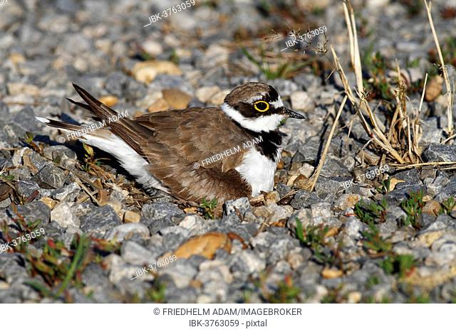Ringed Plover (Charadrius dubius) perched on nest, Burgenland, Austria