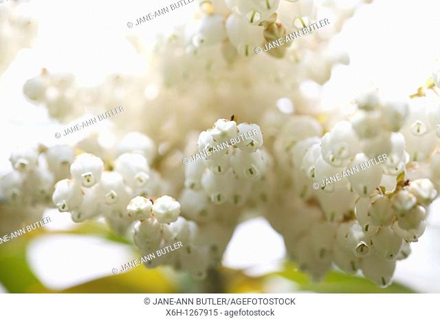 Pretty White Flowers of the Pieris Forest Flame Shrub in Spring