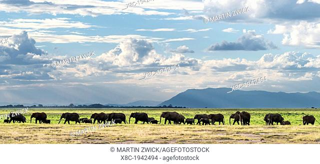 African bush elephant (Loxodonta africana), huge herd in Amboseli National Park. Africa, East Africa, Kenya, December