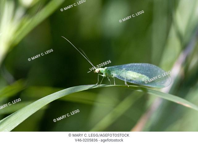 Lacewing, Chrysopidae sp, a soft-bodied small insect. Green with red eyes and delicate netted wings. Adults feed on pollen