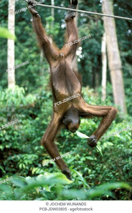 Sabah, a orangutan on a rope
