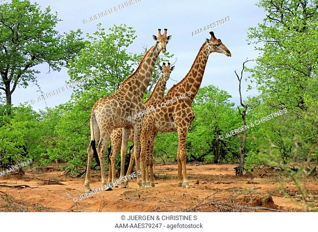 Cape Giraffe (Giraffa camelopardalis giraffa) Kruger National Park, South Africa, adults, three animals, male, group