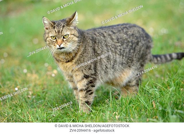 Domestic cat (Felis silvestris catus) standing on a meadow