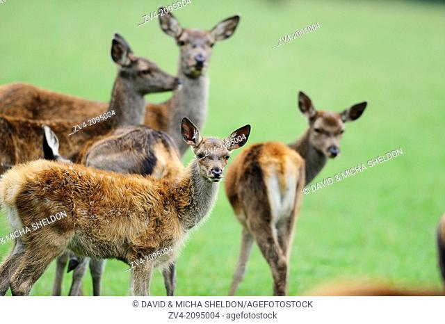 Close-up of a red deer (Cervus elaphus) mother with her calfs
