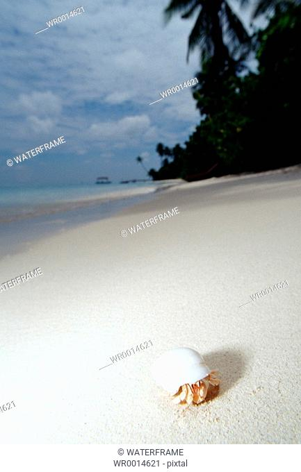 Small Hermit Crab at Beach, Indian Ocean, Maldives