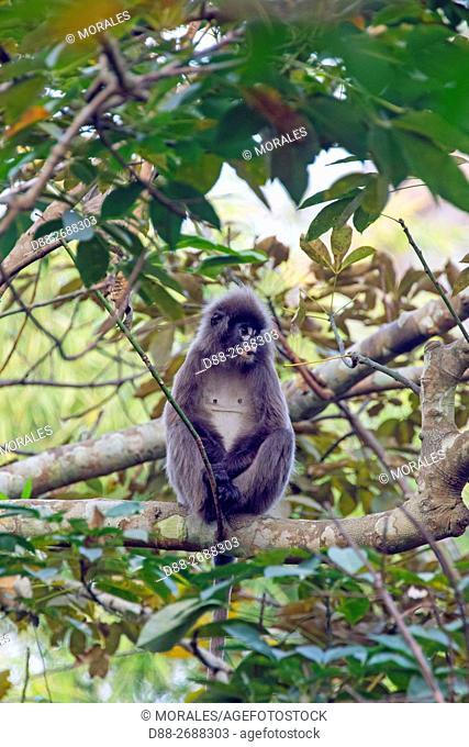 South east Asia, India,Tripura state,Phayre's leaf monkey or Phayre's langur (Trachypithecus phayrei)