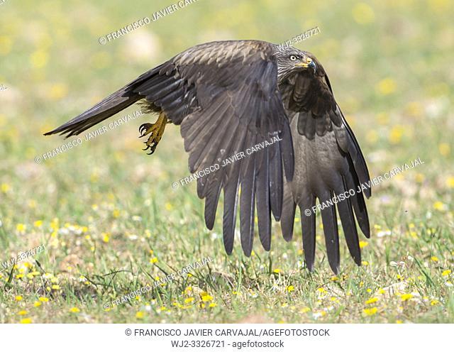 Black kite (Milvus migrans) in flight, Extremadura, Spain