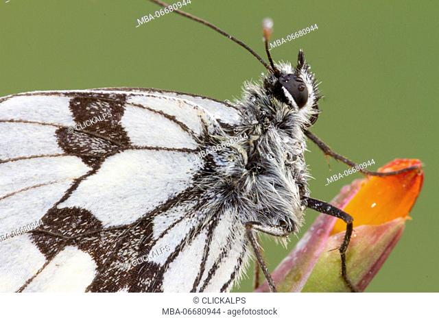 Macro with Details of body and wings of Marbled white butterfly or Melanargia galathea. Lombardy, Italy