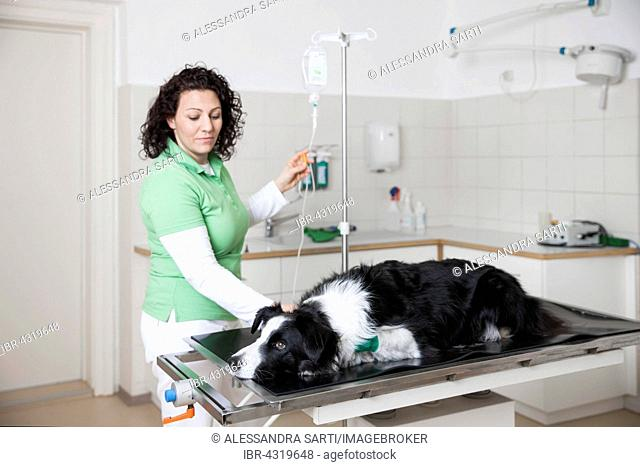 Veterinarian, female vet with Border Collie, dog gets an infusion at the veterinarian